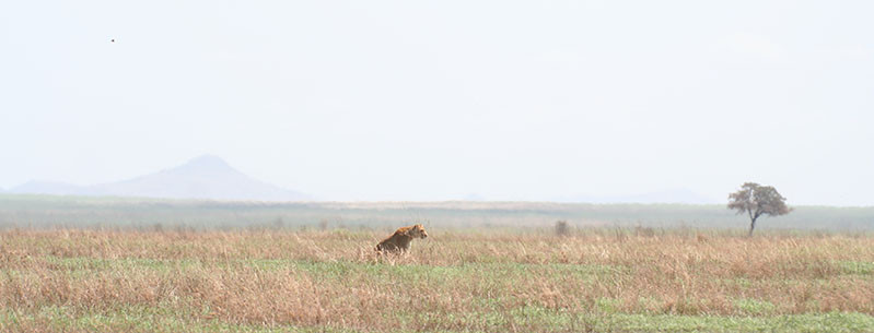 Lioness Ready for hunt on Serengeti Plains, Tanzania