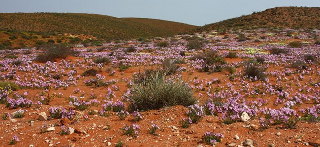 Wild Flowers at the Richterveld National Park, South Africa