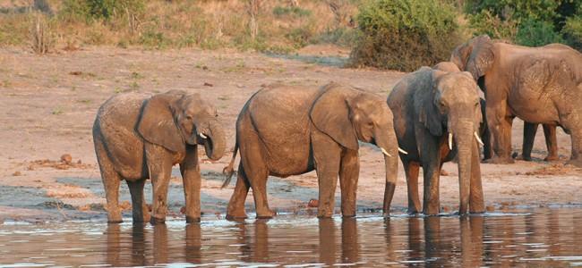 Elephants spotted on Boat Cruise on the Zambezi River, Zambia