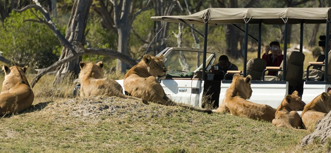 Lions spotted on Game Drive in Moremi National Park, Camp Moremi, Botswana