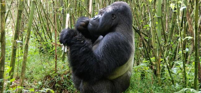 Mountain Gorilla eating in Virunga National Park, Rwanda