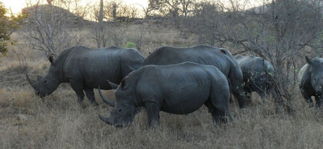 Rhinos spotted on a Game Drive at Kruger National Park, South Africa