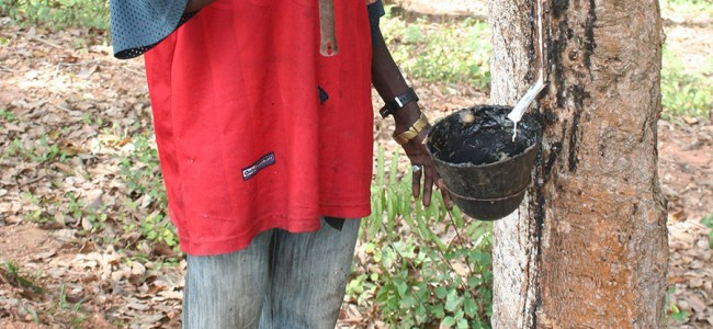 Tapping Sap out of a Rubber Tree, Malawi