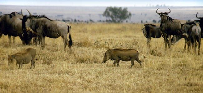 Wildebeest-Gnu and Warthogs in the Nairobi National Park, Kenya