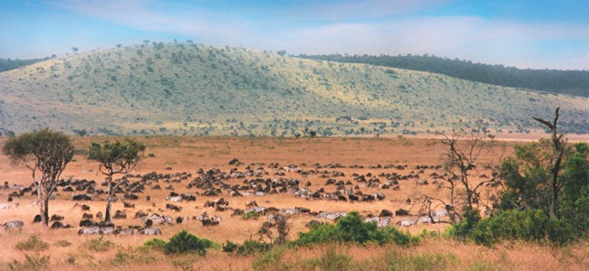 Wildebeest-Gnu and Zebra migrating through the Masai Mara Game Reserve, Kenya