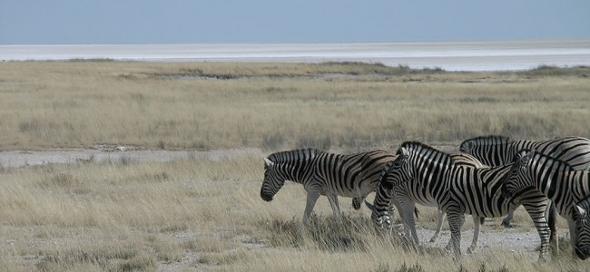 Zebras  spotted on a Game Drive in Etosha National Park